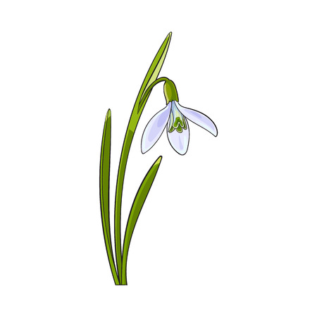 Single galanthus, snowdrop spring flower with stem, leaves, sketch vector illustration isolated . Realistic hand drawing of galanthus, snowdrop, spring flower in vertical position