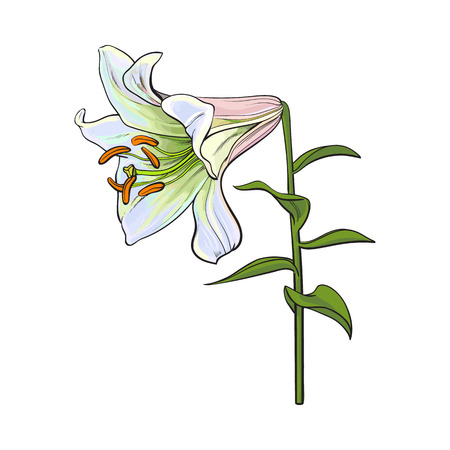 Single hand drawn white lily flower with stem and leaves, side view, sketch vector illustration isolated Realistic hand drawing of white lily, wedding flower, symbol of love