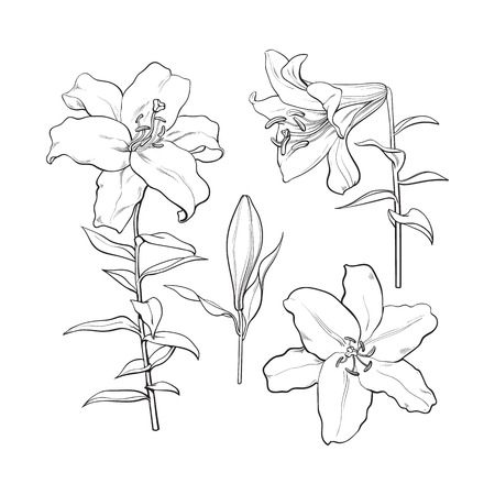 Set of hand drawn white lily flowers in side and top view, sketch style illustration isolated on white background. Realistic hand drawing of white lily, wedding, easter flower, symbol of love