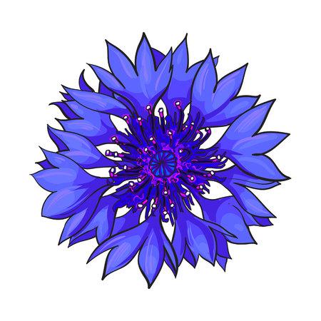Fleur de bleuet ouvert, vue de dessus, illustration de style de croquis isolé sur fond blanc. Main réaliste vue de dessus dessin de bleuet sauvage, champ