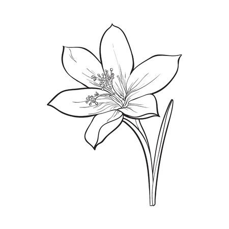 Empfindliche einzelne Krokusfrühlingsblume mit Stamm und Blatt, Skizzenartillustration lokalisiert auf weißem Hintergrund. Realistische Handzeichnung von Krokus, erste Frühlingsblume in vertikaler Position Standard-Bild - 71715887
