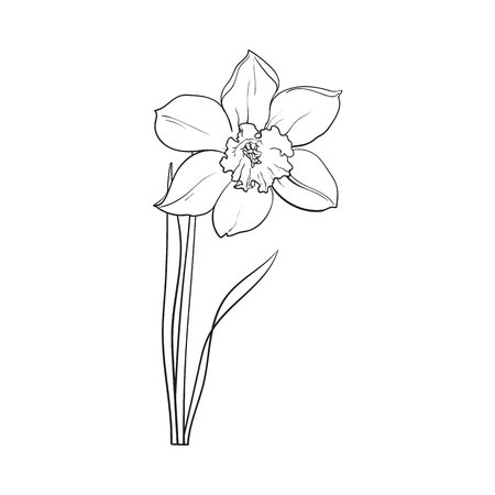 Single daffodil, narcissus spring flower with stem and leaves, sketch illustration isolated on white background. Realistic hand drawing of daffodil spring flower in vertical position Illustration