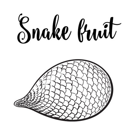 horizontal position: Whole unpeeled, uncut tropical salak, snake fruit in horizontal position, sketch style illustration isolated on white background. Realistic hand drawing of whole snake fruit, salak