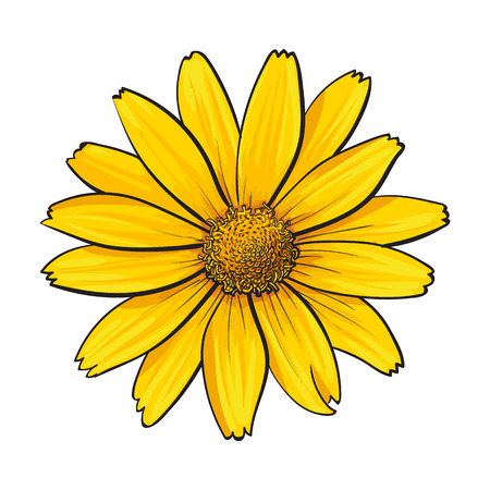 Open heliopsis blossom, top view, sketch style illustration isolated on white background. Realistic top view hand drawing of yellow, orange wild, field heliopsis, false sunflower