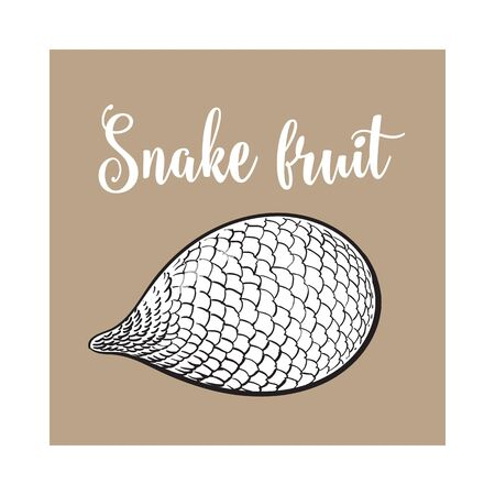 horizontal position: Whole unpeeled, uncut tropical salak, snake fruit in horizontal position, sketch style illustration isolated on brown background. Realistic hand drawing of whole snake fruit, salak