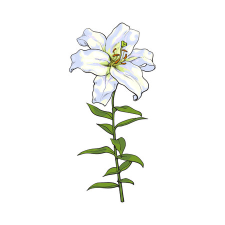 Single hand drawn white lily flower with stem and leaves, front view, sketch illustration isolated on white background. Realistic hand drawing of white lily, wedding flower, symbol of love