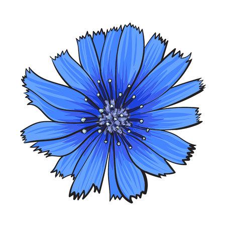 Open witloof wilde bloem hoofd, bovenaanzicht, schets stijl vectorillustratie geïsoleerd op een witte achtergrond. Realistische top weergave hand tekening van wild, veld witloof bloem Stock Illustratie
