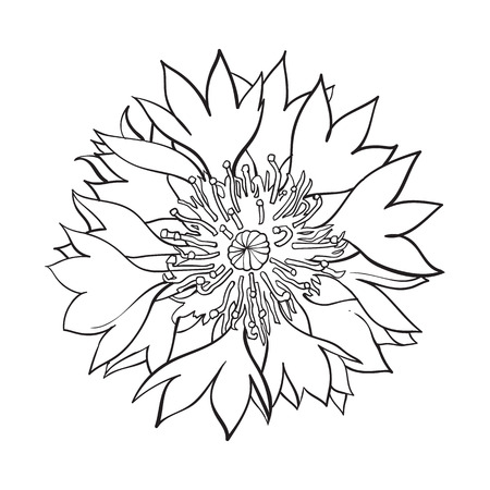 Open black and white cornflower blossom, top view, sketch style vector illustration isolated on white background. Realistic top view hand drawing of wild, field cornflower Illustration
