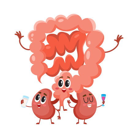 Funny, smiling human bowels and kidneys characters, digestive system internal organs, cartoon vector illustration isolated on white background. Healthy human intestines and kidneys characters