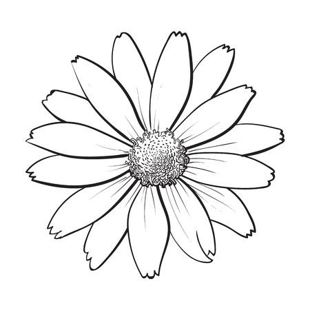 Flor de heliopsis Openblack y blanco, vista desde arriba, ilustración de vector de estilo boceto aislado sobre fondo blanco. Dibujo de mano de vista superior realista de salvaje, heliopsis de campo, falso girasol