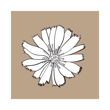 Open zwart-wit witloof wilde bloem hoofd, bovenaanzicht, schets stijl vectorillustratie geïsoleerd op bruine achtergrond. Realistische top weergave hand tekening van wild, veld witloof bloem
