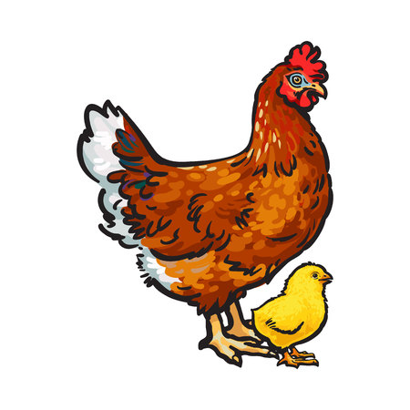 gamme de produit: Hand drawn brown hen and little yellow newborn chicken, sketch style vector illustration isolated on white background. Sketched illustration of little chick and big hen, chicken