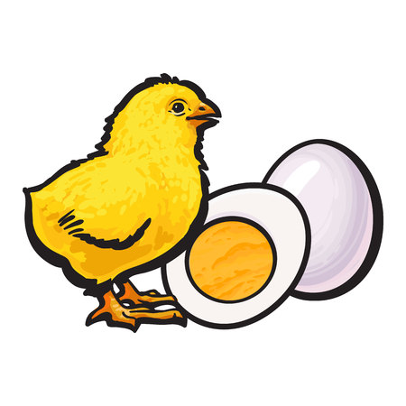 Little chicken with boiled, peeled egg, whole and cut in half, sketch style vector illustration isolated on white background. Illustration