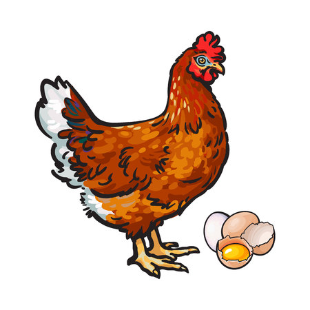 Hand drawn brown hen, chicken and eggs - whole and broken in half with yolk inside, sketch style vector illustration isolated on white background. Hand drawn illustration of chicken, hen, eggs