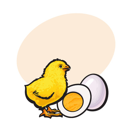 Little chicken with boiled, peeled egg, whole and cut in half, sketch style vector illustration with space for textHand drawn, sketched illustration of little yellow chick and chicken egg