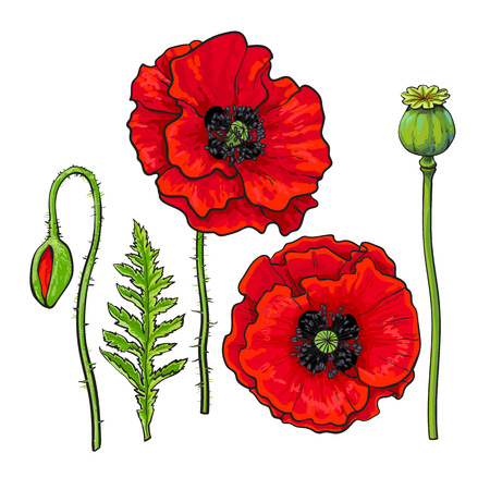 Hand drawn set of side and top view red poppy flower bud pod hand drawn set of side and top view red poppy flower bud pod mightylinksfo