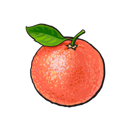 Whole shiny ripe pink grapefruit, red orange with a leaf, hand drawn sketch style vector illustration on white background.