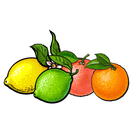 Whole shiny orange, grapefruit, lime and lemon with green leaves, hand drawn sketch style vector illustration on white background. Side view hand drawing of unpeeled orange, grapefruit, lemon and lime Illustration