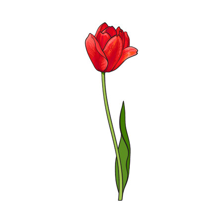 ide: Hand drawn of side view red open tulip flower, sketch style vector illustration isolated on white background. Realistic hand drawing of tulip flower, decoration element Illustration