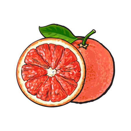 Whole and half unpeeled ripe pink grapefruit, sketch style vector illustration on white background. Hand drawn whole and sliced juicy grapefruit fruit with fresh green leaf