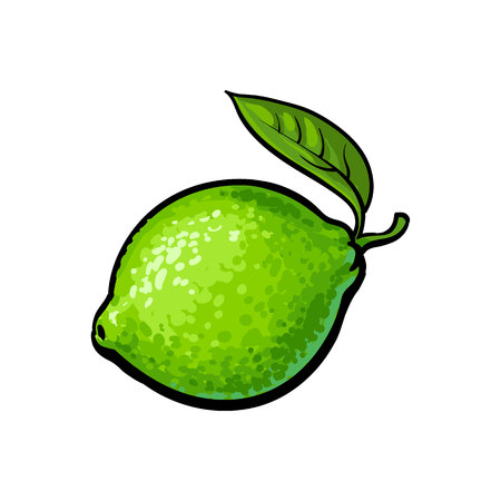 Whole shiny ripe green lime with a leaf, hand drawn sketch style vector illustration on white background. Hand drawing of unpeeled round whole lime with fresh green leaf Illustration