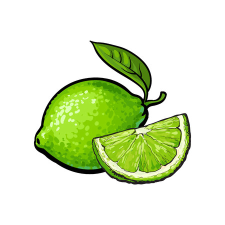 Whole and slice of unpeeled ripe green lime, sketch style vector illustration isolated on white background. Hand drawn whole and cut juicy lime fruit with fresh green leaf