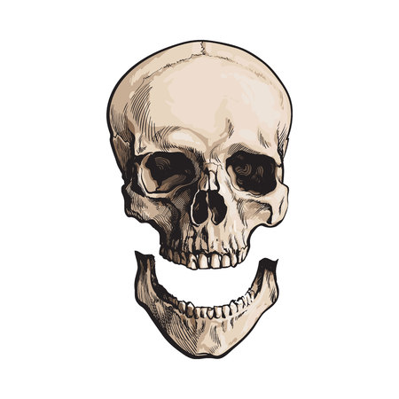 Hand drawn human skull, anatomical model with separated lower jaw, jawbone, sketch style illustration isolated on white background. Realistic hand drawing of human skull with separated jawbone Stock Photo