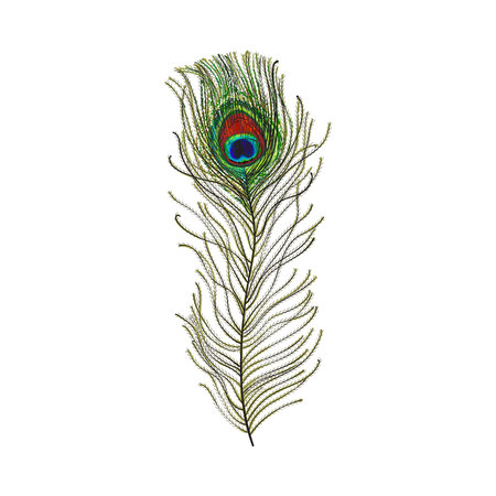 Hand drawn peacock tail bird feather, sketch style vector illustration on white background. Realistic hand drawing of beatiful peacock eye spotted tail quill feather