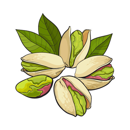 Group of pistachio nuts, shelled and unshelled, sketch style vector illustration isolated on white background. Realistic hand drawing of pistachio nuts with leaves