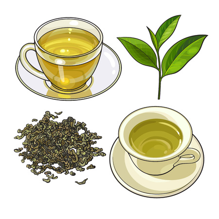 Green tea cup, fresh and dry leaves, sketch vector illustration isolated on white background. Hand drawn green tea drink in transparent glass and china cup and saucer, fresh and dry leaves Illustration