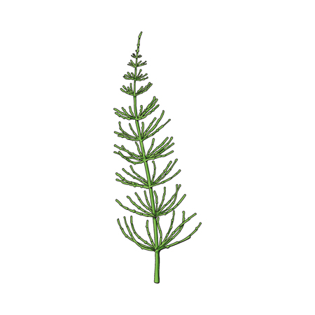 Beautiful equisetum, horsetail twig, branch, decoration element, sketch vector illustration isolated on white background. Realistic hand drawing of beautiful horsetail twig, floral decoration element Ilustração