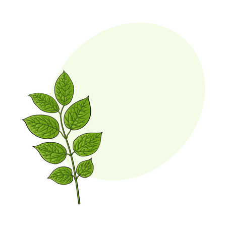 Beautiful honeysuckle leaves, twig, branch decoration element, sketch vector illustration with space for text.