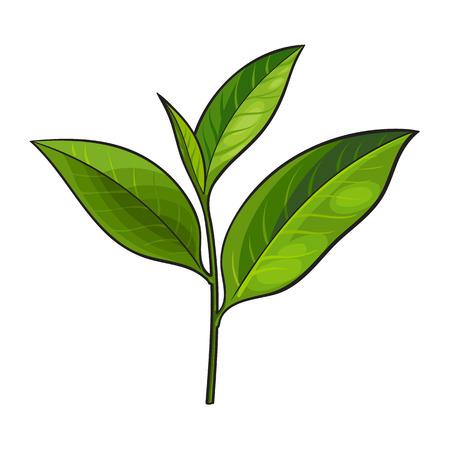 손으로 그린 신선한 녹차 잎, 꽃 봉 오리, 나뭇 가지, 스케치 스타일 벡터 일러스트 레이 션 흰색 배경에 고립. 신선한 젊은 녹차 잎의 현실적인 손  일러스트