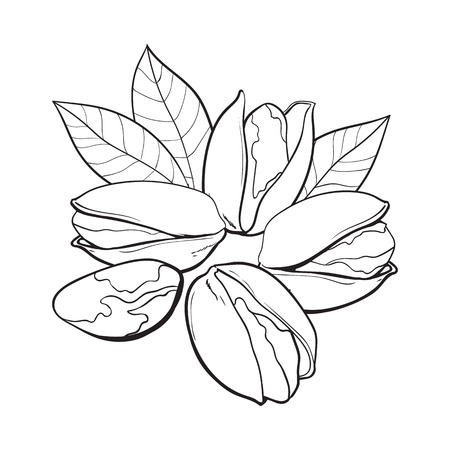 Group of black and white pistachio nuts, shelled and unshelled, sketch style vector illustration isolated on white background. Realistic hand drawing of pistachio nuts with leaves Stock Illustration - 83141882