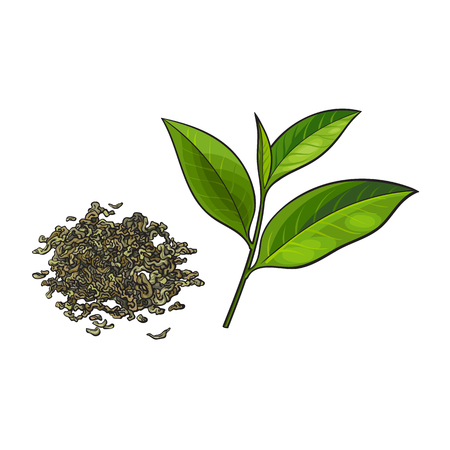 Hand drawn pile, heap, handful of dry green tea and fresh young leaf, sketch vector illustration isolated on white background. Realistic hand drawing of dry green tea and fresh leaf