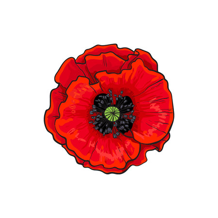Vector red poppy flower blooming closeup. Isolated illustration on a white background. Realistic hand drawn blossom with stem. Floral design object. Summer, spring sign, symbol.  イラスト・ベクター素材