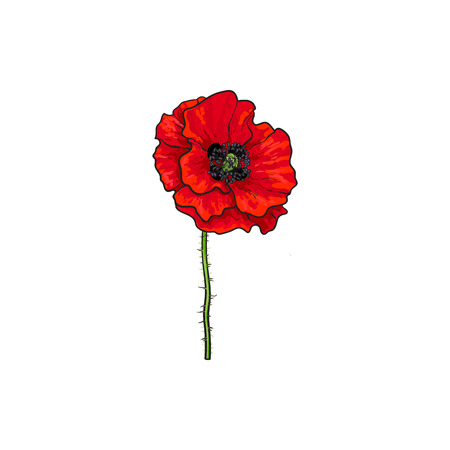 Vector red poppy flower blooming isolated illustration on a vector vector red poppy flower blooming isolated illustration on a white background realistic hand drawn blossom with stem floral design object mightylinksfo