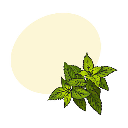 A mint herbs ingredients, sketch style vector illustration on white background. Realistic hand drawing of mint leaves with space for text.