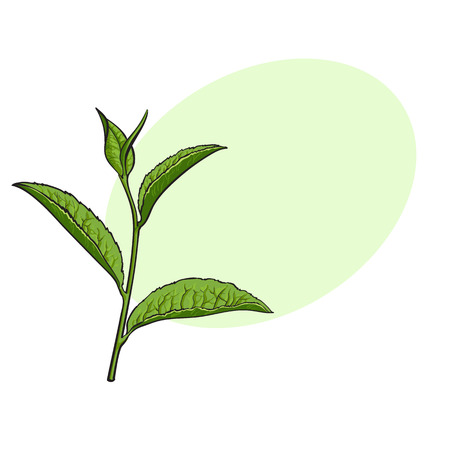 Hand drawn green tea leaf, side view sketch style vector illustration with space for text. Realistic hand drawing of green tea leaves, side view sketch style illustration, decoration element
