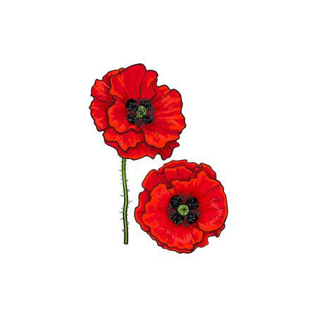 피는 빨간 양 귀 비 꽃 벡터. 흰색 배경에 고립 된 그림입니다. 현실적인 손으로 그려진 된 꽃 줄기입니다. 플로랄 디자인 개체입니다. 여름, 봄 서명,