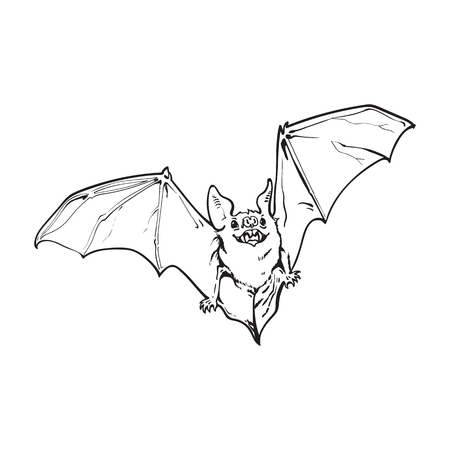 black and white flying Halloween vampire bat, sketch style vector illustration isolated on white background. Hand drawn, sketch style vampire bat flying with wide spread wings, Halloween object Illustration