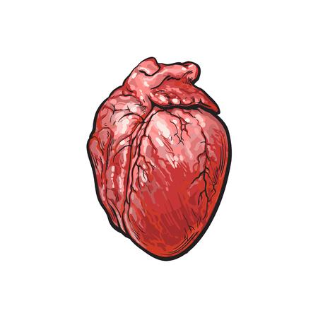 ベクトル豚肉生心内臓スケッチ。白い背景に分離の図。手の描かれた豚モツ