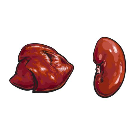 ベクトル豚肉生腎臓、肝臓の内臓スケッチ セット。白い背景に分離の図。手の描かれた豚モツ  イラスト・ベクター素材