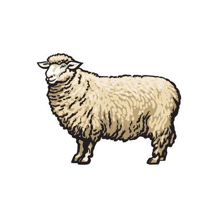 벡터 스케치 만화 스타일 양입니다. 흰색 배경에 고립 된 그림입니다. 뿔없이 손으로 그려진 동물. 소, 농장 발굽 가축 동물, 양모, 양고기 제품 디자인