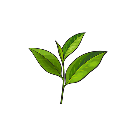 vector sketch cartoon style green tea leaves branch. Isolated illustration on a white background. Hand drawn young saplings sri-lanka , india symbols. Elements for graphic design Zdjęcie Seryjne - 84899693