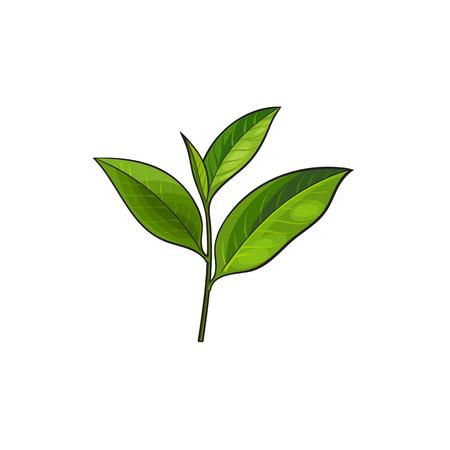 Vektor-Skizze Cartoon-Stil grüner Tee Blätter Zweig. Getrennte Abbildung auf einem weißen Hintergrund. Hand gezeichnete junge Schösslinge Sri-Lanka, Indien-Symbole. Elemente für Grafikdesign