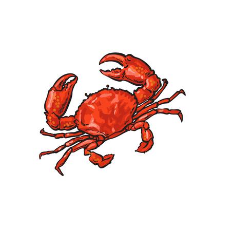 szkic wektor kreskówka krab morski. Na białym tle ilustracja na białym tle. Koncepcja żywności przysmak morski