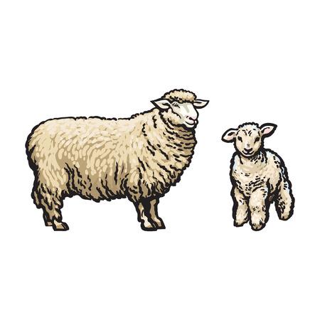 벡터 스케치 만화 스타일 양 및 양고기 집합입니다. 흰색 배경에 고립 된 그림입니다. 뿔없이 손으로 그려진 동물. 소, 농장 발굽 가축 동물, 양모 제품  일러스트