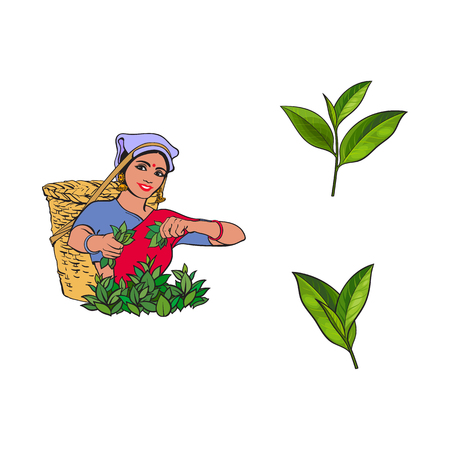 szkic wektor kreskówka indian Sri Lanki lokalnej kobiety zbierania herbaty w sposób tradycyjny uśmiechający się w duży wiklinowy koszyk, zestaw zielonej herbaty liści. Tradycyjnie ubrana postać żeńska, ręcznie rysowane symbole Indii
