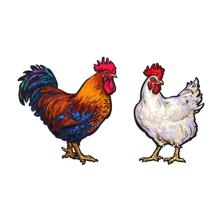 vector cartoon hand drawn sketch brown blue, white colored rooster, cock set. Isolated illustration on a white background. Farm poultry chicken Illustration